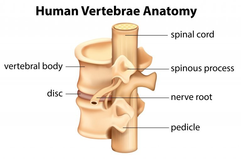 Vertebra anatomy, Spinal anatomy, How chiropractic can help